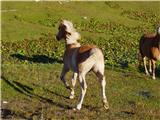 Konj (Equus caballus)