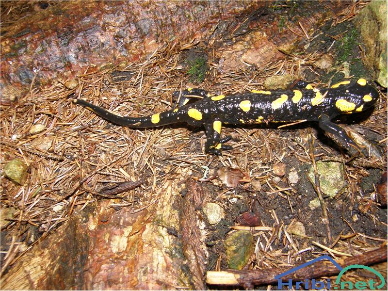 Navadni močerad (Salamandra salamandra) - Slika