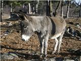 Magarac (Equus africanus asinus)